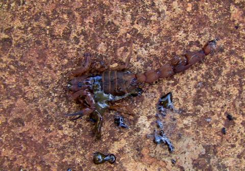 Satan the dead Scorpion by Heidenstrom