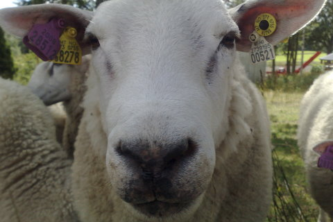Norwegian very good loooking sheep by Heidenstrom